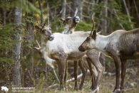 Caribou Recovery Project