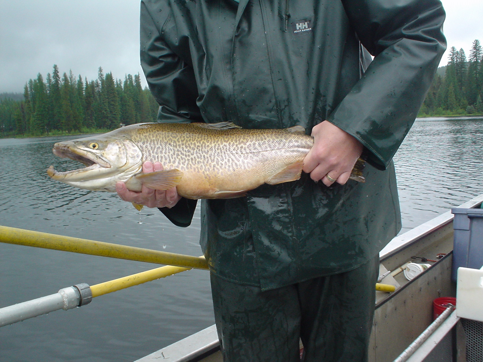 TigerTrout2