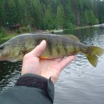 YellowPerch2
